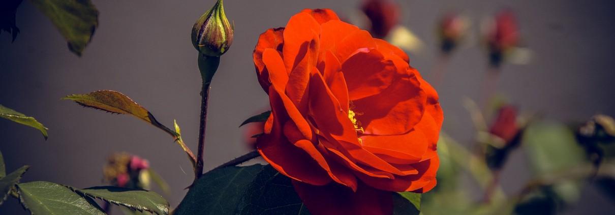 17-09-23-3-Pixabay-Rose-dunkel